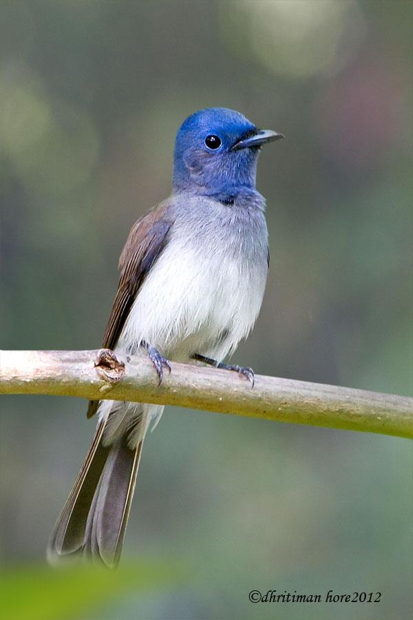 Black-naped Monarch. India and Sri Lanka east to Indonesia and the ...