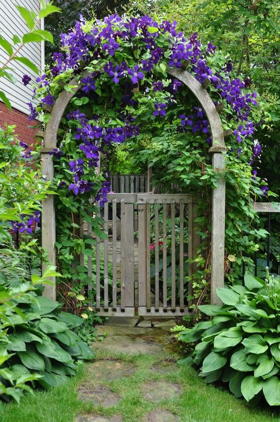 Clematis Climbing an arched gate