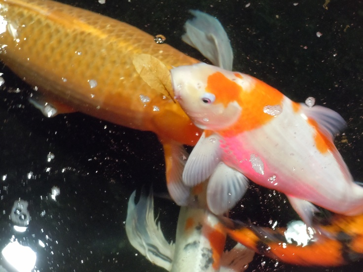 Pin by iluv winter park on i luv color pinterest for Orange and white koi