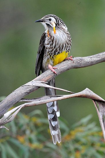 yellow wattle bird at ansons bay in the bay of fires  tasmania