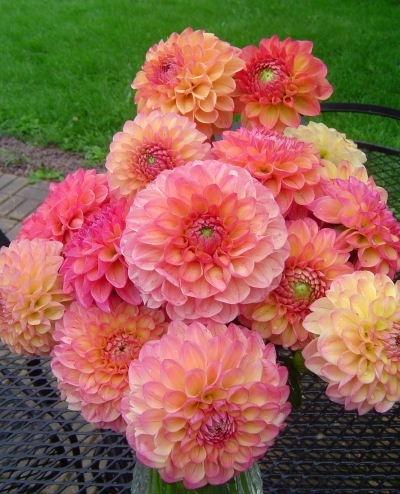 Orangey-pink dahlias