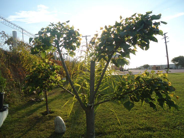 Pin by jard n de fiestas calypso gardens on jard n de - Arbol de jardin ...