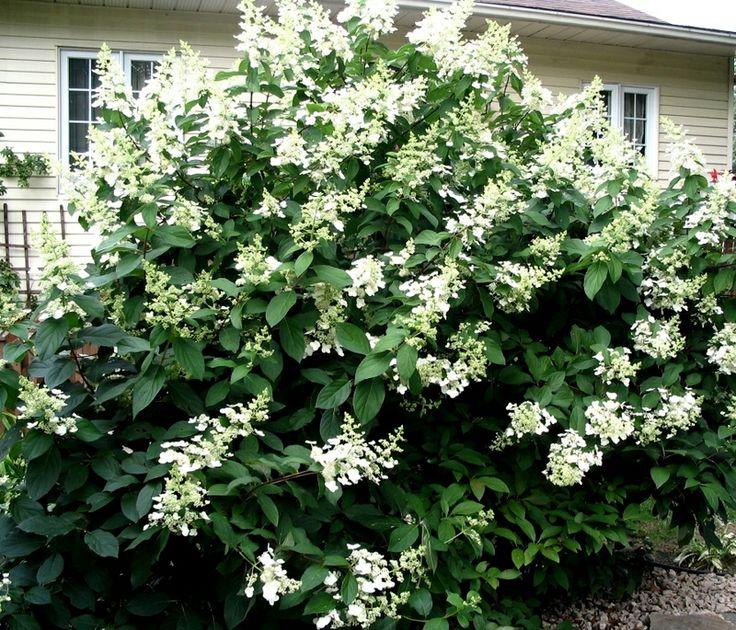 hydrangea paniculata kyushu garden ideas pinterest. Black Bedroom Furniture Sets. Home Design Ideas