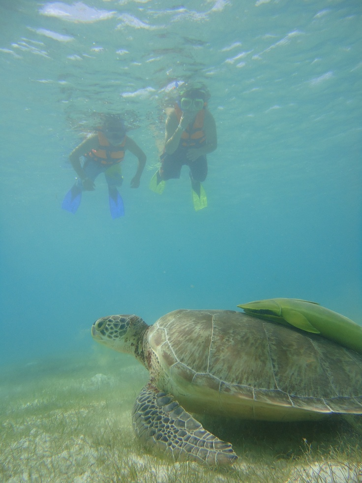 swiming with giant sea turtles in mexico creatures