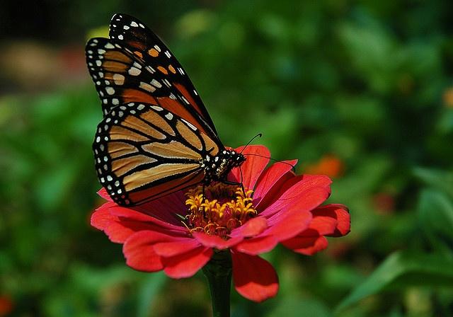 Monarch butterflies flying away - photo#12