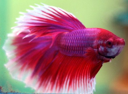 Red and purple betta fish for Betta fish friends