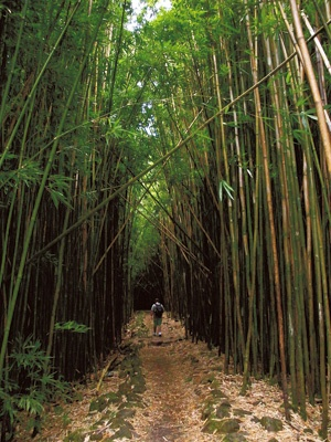 Bamboo forest (Maui)