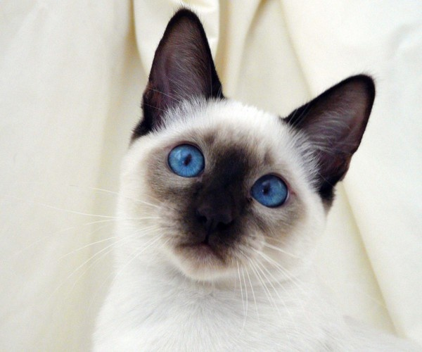 chocolate point siamese cat repins pinterest
