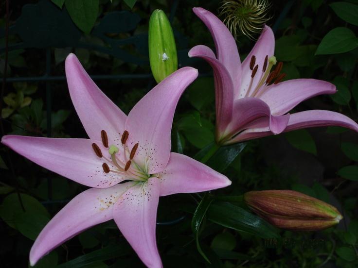 purple lily flower plant - photo #26