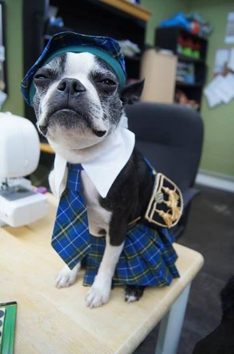 Best Ideas About Boston Terrier Costume On Pinterest