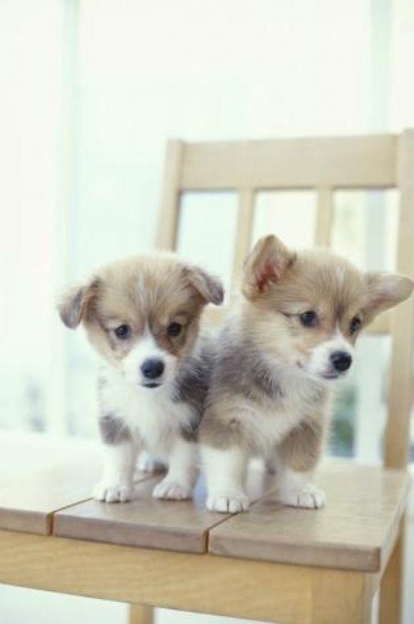 Corgi Love! | Cutest Paw | cute | Pinterest
