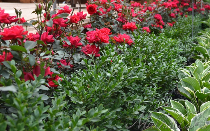 Landscaping With Boxwoods And Roses : Pin by alexandra diaz on gardens