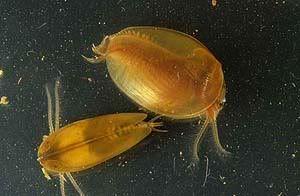 Clam Shrimp Marine Biology Pinterest