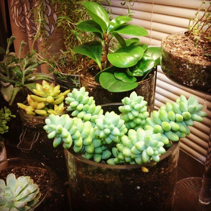Indoor succulent garden jrr succulents pinterest - Best succulents for indoors ...