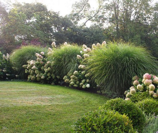 Large maiden grass w hydrangea landscape pinterest for Large grasses for landscaping