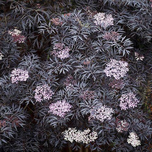 sambucus nigra 39 black lace 39 elderberry plants pinterest. Black Bedroom Furniture Sets. Home Design Ideas
