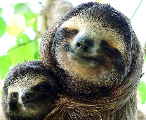 Sloths--OMG, the big one is smiling! | Kimber's | Pinterest