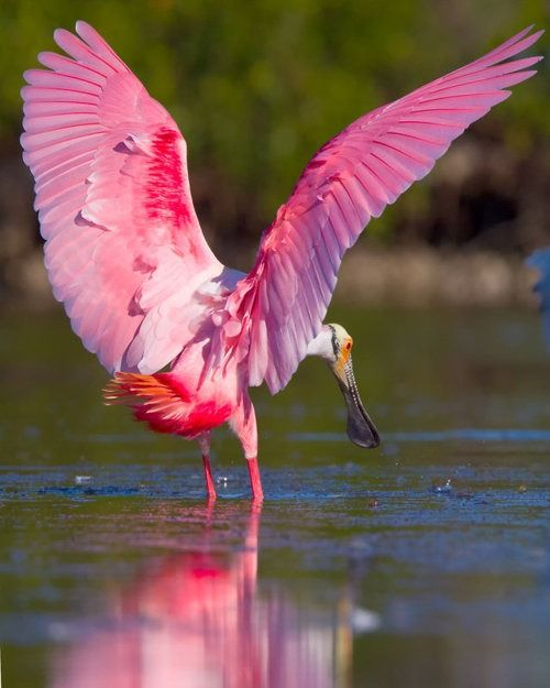 spectacular roseate Spoonbill ~ watching them sieve thru the waters for their meals is enjoyable & seeing them soar with the light shining thru their brilliant gaudy plummage is thrilling!!!
