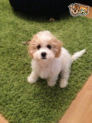 Non Shedding Hybrid   Dog Breeds Picture