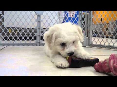 Bichon Frise Puppies Playing 19Breeders | Warm Hearts, Wet Noses | Pi ...