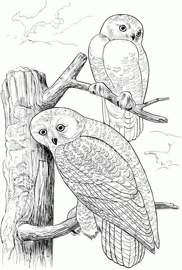 Birds Of Prey Coloring Pages Birds Of Prey Coloring Pages
