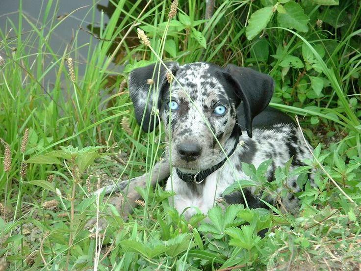 Catahoula Leopard Dog | Catahoula Leopard Dog | Pinterest