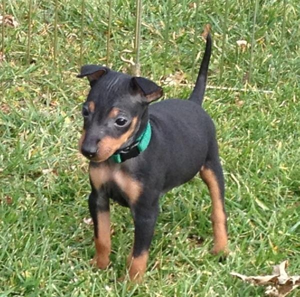 manchester toy terrier - photo #17