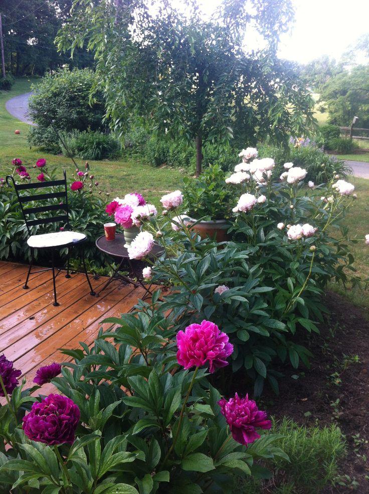 Peony Garden Bordering Patio Gardens Pinterest