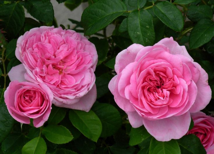 david austin rose 39 gertrude jekyll 39 gardens landscapes. Black Bedroom Furniture Sets. Home Design Ideas
