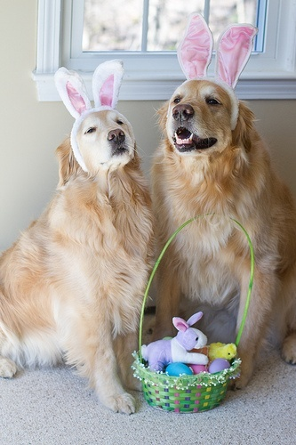 Love of Goldens @ easter time enjoy your easter basket and may god bless u both 4 ever