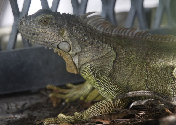 Florida fish and wildlife commission tries to curb iguana for Florida fish wildlife