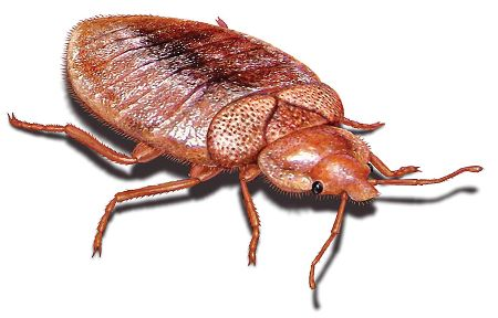 bell bed bugs bed bugs pinterest With bell bed bugs