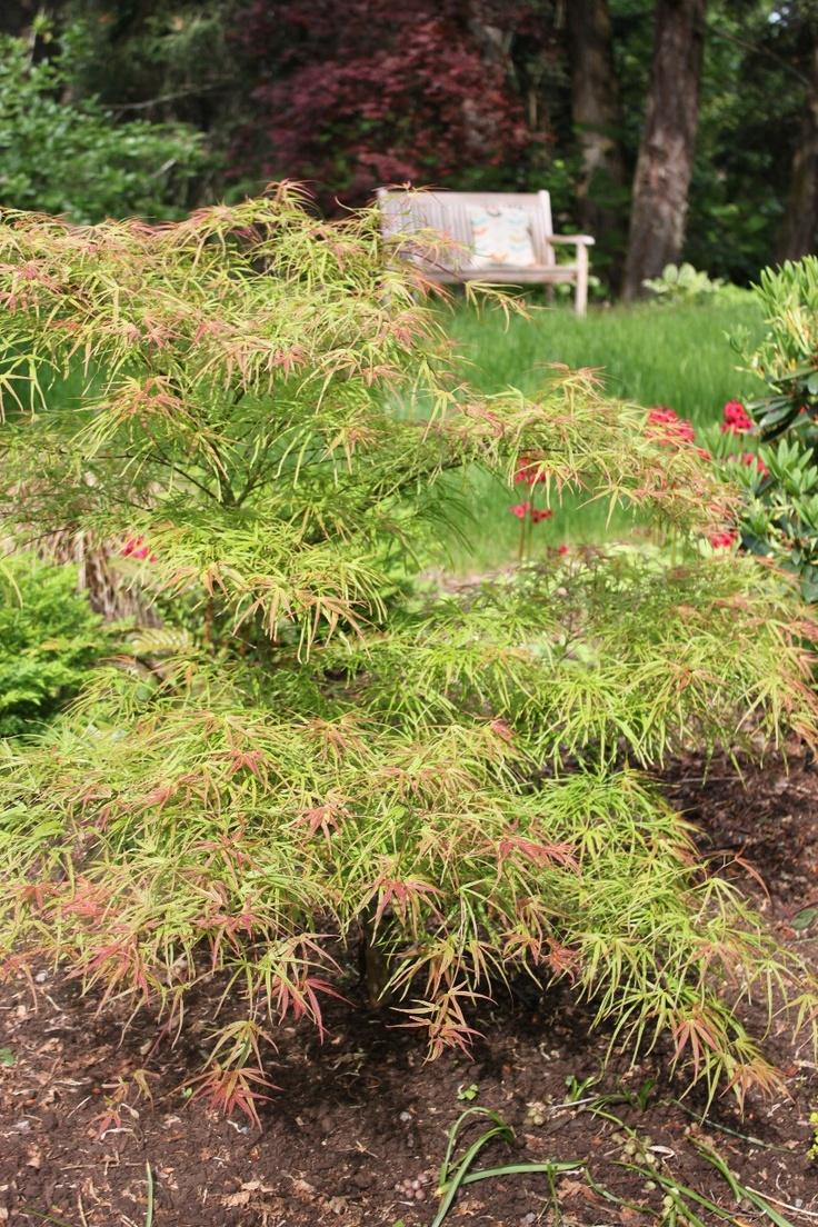 Acer palmatum 39 villa taranto 39 garden plants japanese for Plants found in japanese gardens
