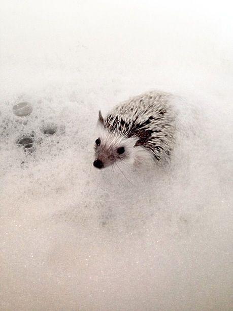 Hedgehog taking a bubble bath! - 31.7KB