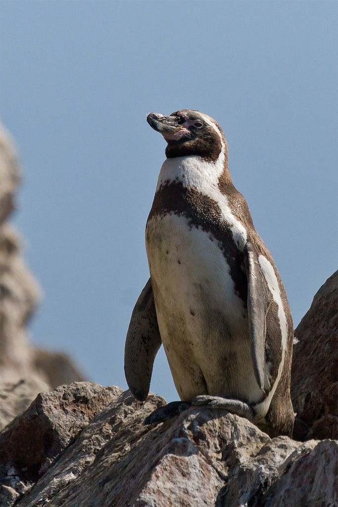 Humboldt penguin | Puffins and Penguins | Pinterest