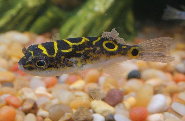 Figure 8 Puffer Fish Puffer ( my favorite fish ) Pinterest