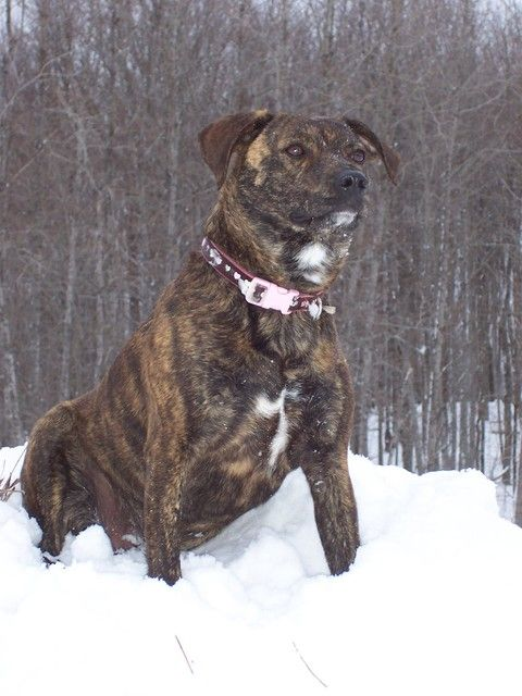 Pictures of Mountain Cur Dog Breed | Rotties, Dobes, Shepherds, Labs ...