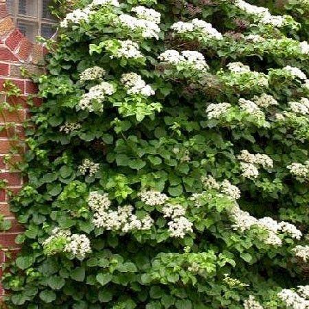 Hortensia grimpant garden pinterest for Plante jardin ombre