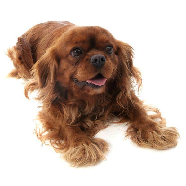Cavalier King Charles Spaniel {a RUBY!} | Animals | Pinterest