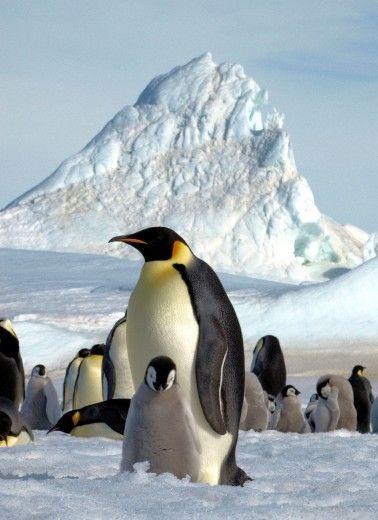 The Emperor Penguin in the ice of Antarctica