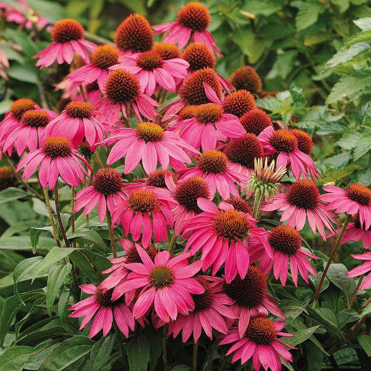 Wild Echinacea Plant Echinacea Plant
