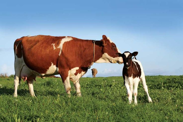 how to keep a family cow and enjoy delicious milk cream cheese and
