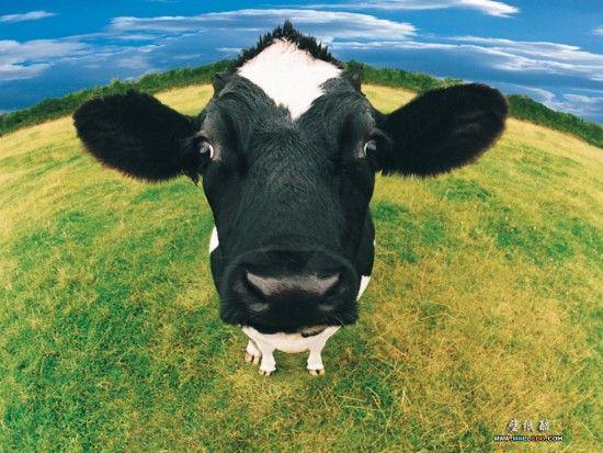 krowa w trawie