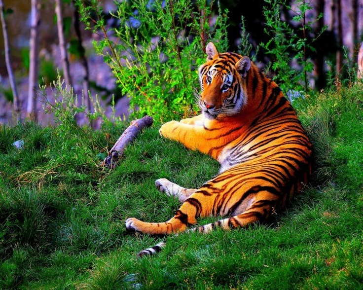 Majestic Bengal Tiger   The Majestic Tiger   Pinterest