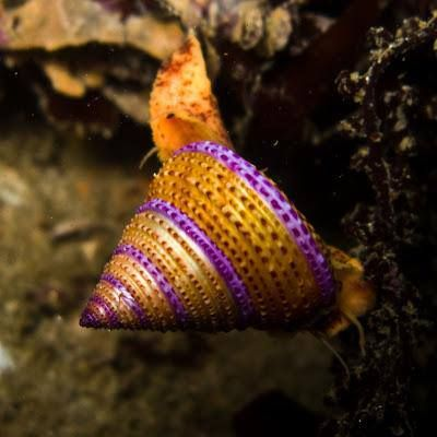 purple and gold water snail shell | My Underwater Buddies | Pinterest
