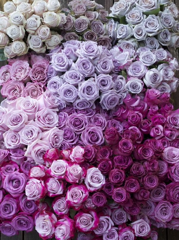 Looking for purple roses? As shown in this beautiful example, there are several varieties and shades to choose from!