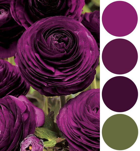color palette inspiration plum ranunculus colors of the