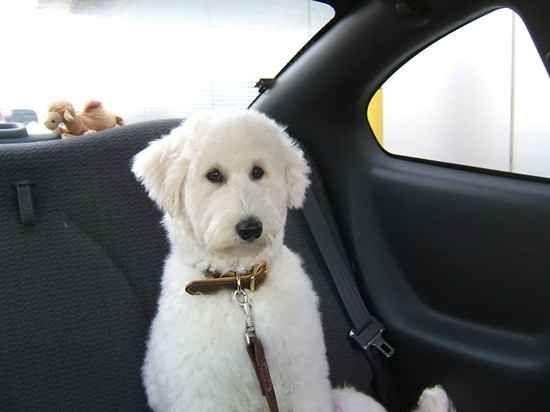 Sammy Poo - Samoyed and poodle mix.   Dogs   Pinterest
