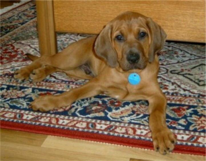 Redbone coonhound | Cu...