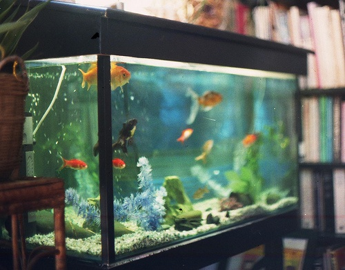 fish tanks, Goldfish Soothing for a Living Room!